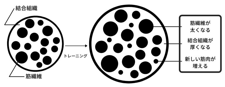 筋トレの効果はどれくらいであらわれるのか?【筋力UP】=【筋肥大】ではありません